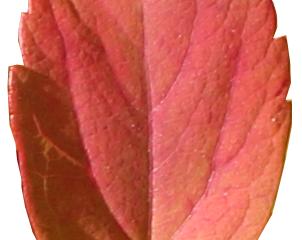 hostblad